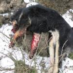 zvířecí oběti (3)