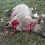 potrhaná ovce (1)