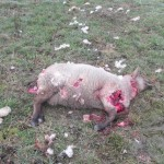 potrhaná ovce (2)